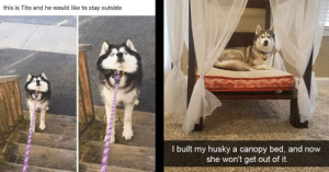 memehumor:  Derpy Husky Memes In Honor Of Those Big Dummies: this is Tito and he would like to stay outside  I built my husky a canopy bed, and now  she won't get out of it. memehumor:  Derpy Husky Memes In Honor Of Those Big Dummies