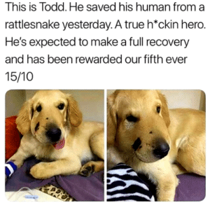 Get well soon, Todd: This is Todd. He saved his human from a  rattlesnake yesterday. A true h*ckin hero.  He's expected to make a full recovery  and has been rewarded our fifth ever  15/10 Get well soon, Todd