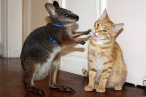 This is Wahloo, a wallaby playing with his friend Toto the cat, who he has grown up with on a farm in Reikorangi.: This is Wahloo, a wallaby playing with his friend Toto the cat, who he has grown up with on a farm in Reikorangi.