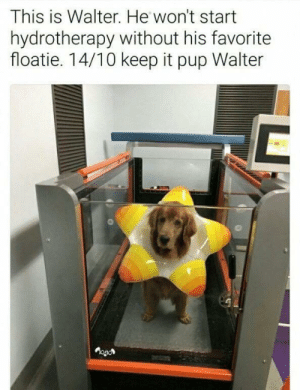 Dank, Memes, and Target: This is Walter. He won't start  hydrotherapy without his favorite  floatie. 14/10 keep it pup Walter  OOL Pet him now 😡👇 by PM-ME-ANYTHING7 MORE MEMES