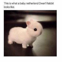 Memes, Rabbit, and What Is: This is what a baby netherland Dwarf Rabbit  looks like. If that's not adorable I don't know what is 😍
