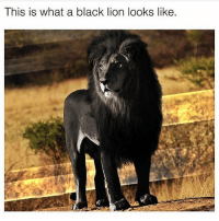 "Memes, Black, and Lion: ThIS IS What a black lion lookS like. Comment ""LION"" letter by letter uninterrupted 🦁 Getting interrupted = getting eaten"