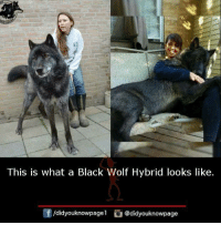 Memes, Black, and Wolf: This is what a Black Wolf Hybrid looks like.  /didyouknowpagel  @didyouknowpage