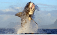 Memes, Shark, and Sharks: This is what a great white shark breaching looks like.