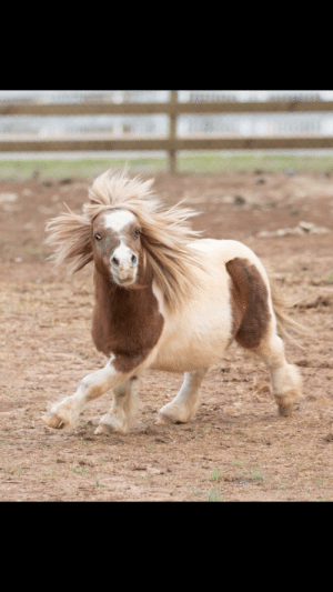 This is what a miniature horse looks like in the middle of running.: This is what a miniature horse looks like in the middle of running.