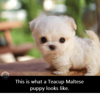 Puppy: This is what a Teacup Maltese  puppy looks like
