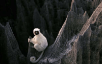 Memes, 🤖, and Madagascar: This is what a White Lemur in Madagascar's Stone Forest looks like.