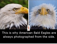 Memes, Eagle, and 🤖: This is why American Bald Eagles are  always photographed from the side.