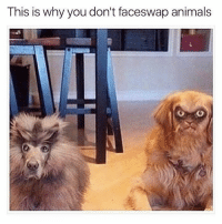Animals, Memes, and 🤖: This is why you don't faceswap animals we should
