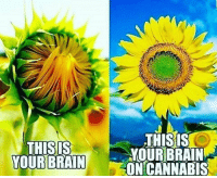 Memes, 🤖, and Cannabies: THIS IS  YOUR BRAIN  THISIS  YOUR BRAIN  ON CANNABIS