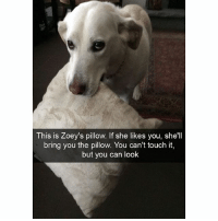 Zoey will melt your heart: This is Zoey's pillow. If she likes you, she'll  bring you the pillow. You can't touch it,  but you can look Zoey will melt your heart