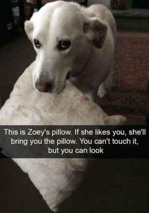 Girl, Good, and Shell: This is Zoey's pillow. If she likes you, she'll  bring you the pillow. You can't touch it,  but you can look Zoey is a good girl via /r/wholesomememes https://ift.tt/2ZS1FeS