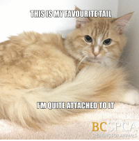 Brussel is fond of his tail and clever puns(!). This shy guy is looking for a quiet, adult-only home with a patient guardian who can help bring him out of his shell. Meet him at the BC SPCA Nanaimo Branch http://adopt.spca.bc.ca/index.php?get=animal&profile_id=395279: THIS ISM FAVOURITE TAIL  IMOUITE ATTACHED TO IT  BC P  CA  SPEAK NG FOR ANIMALS Brussel is fond of his tail and clever puns(!). This shy guy is looking for a quiet, adult-only home with a patient guardian who can help bring him out of his shell. Meet him at the BC SPCA Nanaimo Branch http://adopt.spca.bc.ca/index.php?get=animal&profile_id=395279