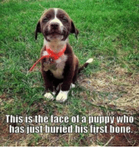 Puppy, Bone, and Who: This isthe face of a puppy who  has iust buried his first bone
