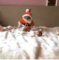This kitty getting into the Christmas spirit  Credit: My Furry Babies: This kitty getting into the Christmas spirit  Credit: My Furry Babies