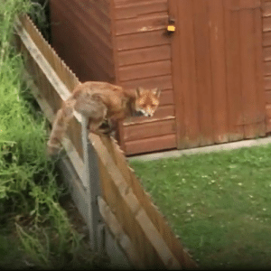 This lad spotted a pigeon, a cat and a fox in his back garden and it's the most intense two-and-a-half minutes you'll see today... 🐦🐱🦊: This lad spotted a pigeon, a cat and a fox in his back garden and it's the most intense two-and-a-half minutes you'll see today... 🐦🐱🦊
