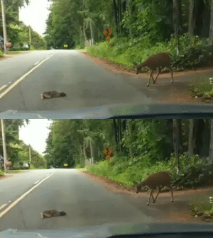 This little baby deer got so scared crossing the road from seeing the car approaching, it dropped down in the middle of the road and wouldn't move. After stopping and turning the car off to help them calm down, the mama deer cautiously came to the rescue. (Source): This little baby deer got so scared crossing the road from seeing the car approaching, it dropped down in the middle of the road and wouldn't move. After stopping and turning the car off to help them calm down, the mama deer cautiously came to the rescue. (Source)
