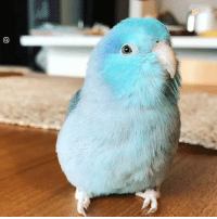 Dank, Blue, and Adorable: This little blue parrotlet is the most adorable thing ever 😍😍