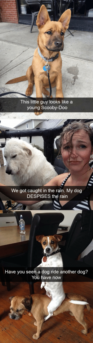 animalsnaps:Animal snaps: This little guy looks like a  young Scooby-Doo   We got caught in the rain. My dog  DESPISES the rain   n a dog ride an  Have you see otner dog?  You have now animalsnaps:Animal snaps