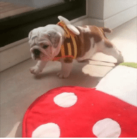 Dank, Too Much, and Stuff: This little guy strutting his stuff in a bumble bee costume is too much 😂🐶🐝