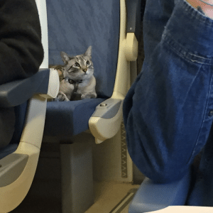 This little kitty had its own seat on the three hour train ride I was on in Spain! It sat so nicely for the whole time: This little kitty had its own seat on the three hour train ride I was on in Spain! It sat so nicely for the whole time