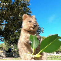 Dank, 🤖, and Leaf: This little quokka enjoying his leaf is EXACTLY what you need right now 😍