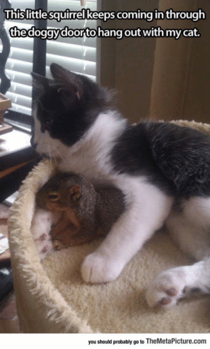 Tiny Best Friendshttp://advice-animal.tumblr.com/: This little squirrel keeps coming in through  the doggy doorto hang out with my cat.  you should probably go to TheMetaPicture.com Tiny Best Friendshttp://advice-animal.tumblr.com/