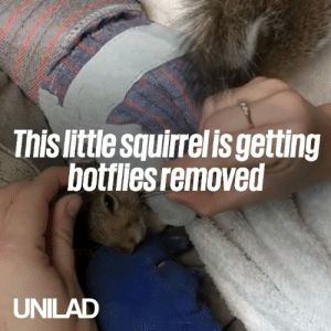 This squirrel had FOUR botfly parasites deep under his skin and sat through the removal like a champ... What a brave little guy 🙌❤️️: This little squirrelis getting  botiliesremoved  UNILAD This squirrel had FOUR botfly parasites deep under his skin and sat through the removal like a champ... What a brave little guy 🙌❤️️