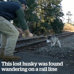 This lost husky was found wandering on a rail line 🐶❤️: This lost husky was found  wandering on a rail line This lost husky was found wandering on a rail line 🐶❤️
