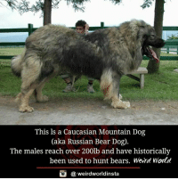 This ls a Caucasian Mountain Dog  (aka Russian Bear Dog)  The males reach over 200lb and have historically  been used to hunt bears. Werd World  酉  @ weirdworldinsta