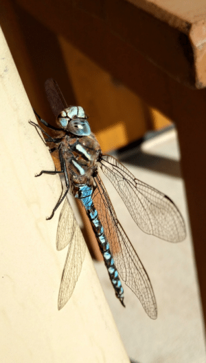 Phone, World, and Another: This Majestic Dragonfly let me get real close for a pic on my phone! The eyes look like they're from another world.