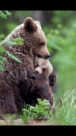 This mama bear hugging her cub: This mama bear hugging her cub