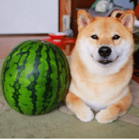 this meme is funny because it's a shiba dog next to a watermelon ohh god look at how happy it looks omg I love dogs so much. good dog