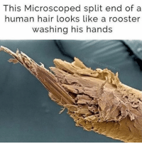 Ffs 😂😂 (@thestupidamerican): This Microscoped split end of a  human hair looks like a rooster  washing his hands Ffs 😂😂 (@thestupidamerican)