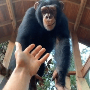 This monkey is helping his human in the cutest way! Wait for it... 😍  Credit: @KodyAntle: This monkey is helping his human in the cutest way! Wait for it... 😍  Credit: @KodyAntle