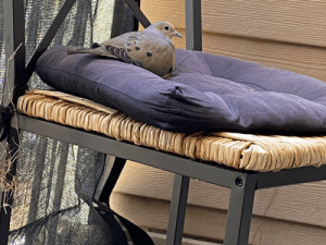 This mourning dove nesting on the chair cushion on my patio. She laid one egg on Easter.: This mourning dove nesting on the chair cushion on my patio. She laid one egg on Easter.