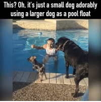Memes, Pool, and 🤖: This? Oh, it's just a small dog adorably  using a larger dog as a pool float Pool buddies
