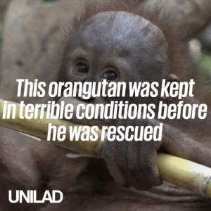 After spending the first year of his life trapped in a tiny cage, Budi the Orangutan was rescued and is now on the road to recovery ❤️️🙌   International Animal Rescue: This orangutan was kept  interrible conditions before  he was rescued  UNILAD After spending the first year of his life trapped in a tiny cage, Budi the Orangutan was rescued and is now on the road to recovery ❤️️🙌   International Animal Rescue