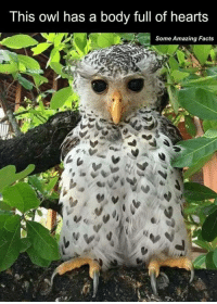 owl: This owl has a body full of hearts  Some Amazing Facts