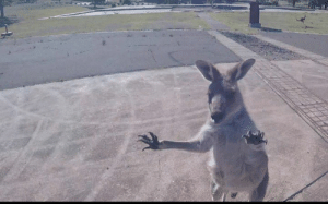 Space, Kangaroo, and One: This paraglider had a close encounter with one very cranky Kangaroo while landing at a remote former space tracking station 🦘😯