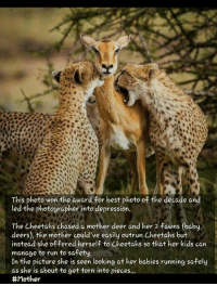 Memes, Cheetah, and 🤖: This photo won the award for best photo of the decade and  led the photographer into depression.  The Cheetahs chased a mother deer and her 2 fawns (baby  deers), the mother could've easily outrun Cheetahs but  instead she offered herself to Cheetahs so that her kids can  manage to run to safety.  In the picture she is seen looking at her babies running safely  as she is about to get torn into pieces...  ඇය අම්මා නම් විය...❤