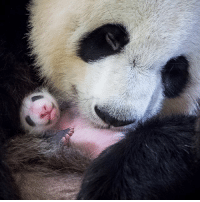 Cher, Memes, and Soon...: This photograph shows female panda Huan Huan holding her cub inside her enclosure at The Beauval Zoo in Saint-Aignan-sur-Cher, central France. The panda gave birth to twins on August 4, 2017, but one died soon afterwards. Nine-year-old Huan Huan and her male partner Yuan Zi arrived at Beauval zoo in January 2012 on a 10-year loan from China and are the only giant pandas living in France. Breeding pandas is notoriously difficult and this is the first time a cub has been born in France. A giant panda is born pink, hairless, blind and 1-900th the size of its mother. PHOTO: GUILLAUME SOUVANT -AFP BBCsnapshot photography panda cub birth Beauvalzoo zoo nature