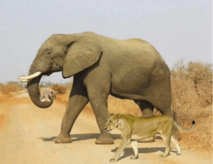 This Picture Was Taken From Kenya During Fire forest An Elephant Was Carrying Cube After Lioness Felt exhausted and tired (Mercy and Forgiveness): This Picture Was Taken From Kenya During Fire forest An Elephant Was Carrying Cube After Lioness Felt exhausted and tired (Mercy and Forgiveness)