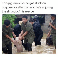 You earned it piggy: This pig looks like he got stuck on  purpose for attention and he's enjoying  the shit out of his rescue You earned it piggy