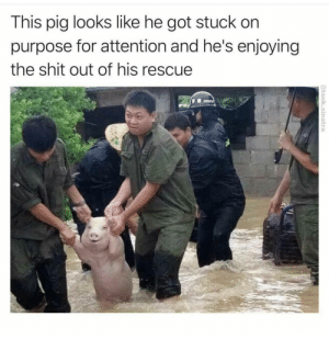 Shit, Happy, and Got: This pig looks like he got stuck  purpose for attention and he's enjoying  the shit out of his rescue  @tank.sinatra happy oinks