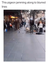 Af, Funny, and Lit: This pigeon jamming along to blurred  lines Lmao lit af !