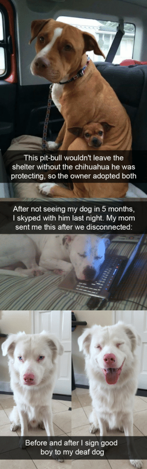Dog snapsvia @animalsnaps: This pit-bull wouldn't leave the  shelter without the chihuahua he was  protecting, so the owner adopted both   After not seeing my dog in 5 months,  I skyped with him last night. My mom  sent me this after we disconnected   Before and after I sign good  boy to my deaf dog Dog snapsvia @animalsnaps