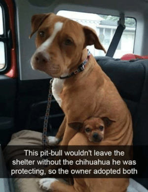 Chihuahua, Cute, and Dank: This pit-bull wouldn't leave the  shelter without the chihuahua he was  protecting, so the owner adopted both This too cute for me to handle.