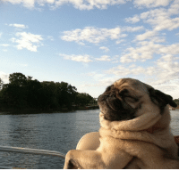 Life, Memes, and 🤖: This pug has reached The Pug Life.