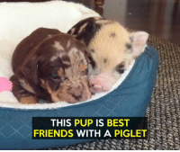 Memes, 🤖, and Piglet: THIS PUP IS BEST  FRIENDS WITH A PIGLET One way to brighten a day!